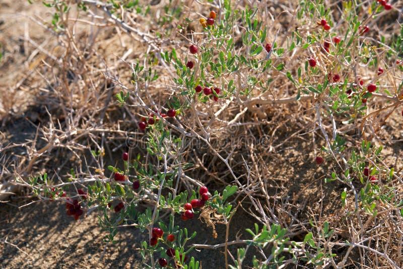 BuskeNitraria sibirica med röda bärfrukter i mongolian ointressant öken i västra Mongoliet fotografering för bildbyråer