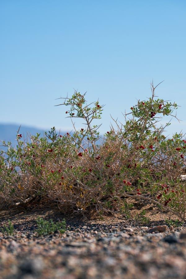 BuskeNitraria sibirica med röda bärfrukter i mongolian ointressant öken i västra Mongoliet royaltyfria bilder