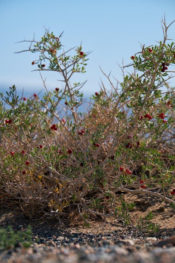 BuskeNitraria sibirica med röda bärfrukter i mongolian ointressant öken i västra Mongoliet arkivbild