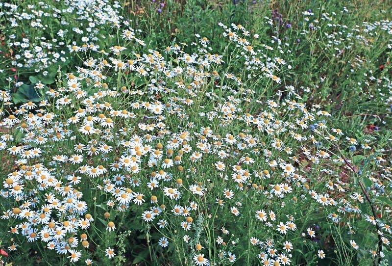 Busksnår av blommafältet av kamomillar royaltyfria foton
