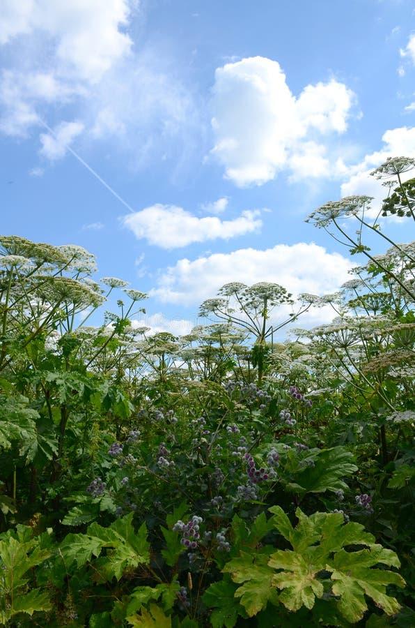 Busksnår av giftigt jätte- hogweed med paraplyer mot den blåa himlen med moln arkivfoto
