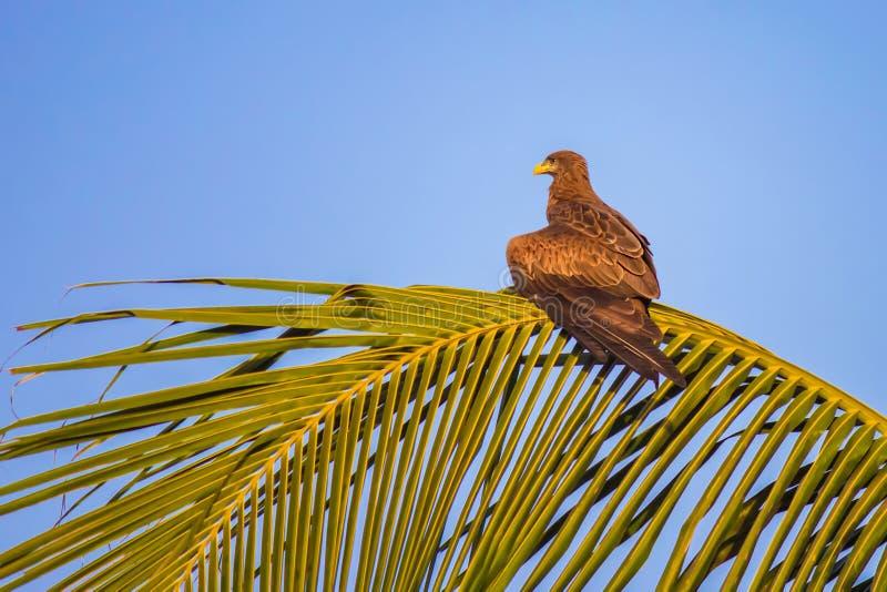 Bussard, der auf ein Opfer bei dem Sonnenuntergang auf einem Palmenbaumast, Senegal wartet lizenzfreies stockbild