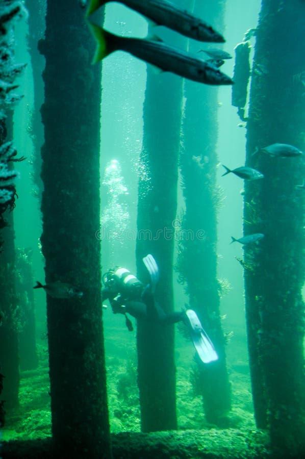 Busselton brygga: Fisk, rev och dykare arkivbild