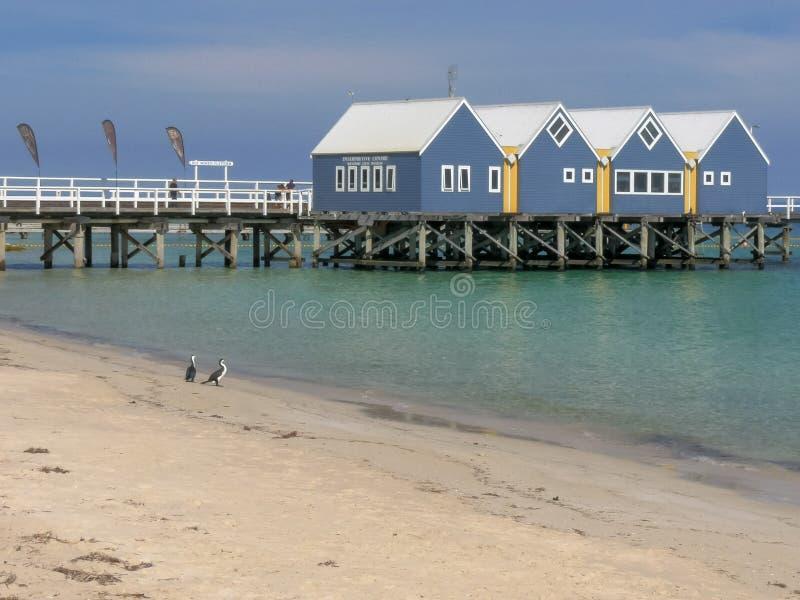 BUSSELTON, zachodnia australia, AUSTRALIA LISTOPAD 9, 2015: busselton kormorany na plaży w zachodniej australii i jetty obraz royalty free