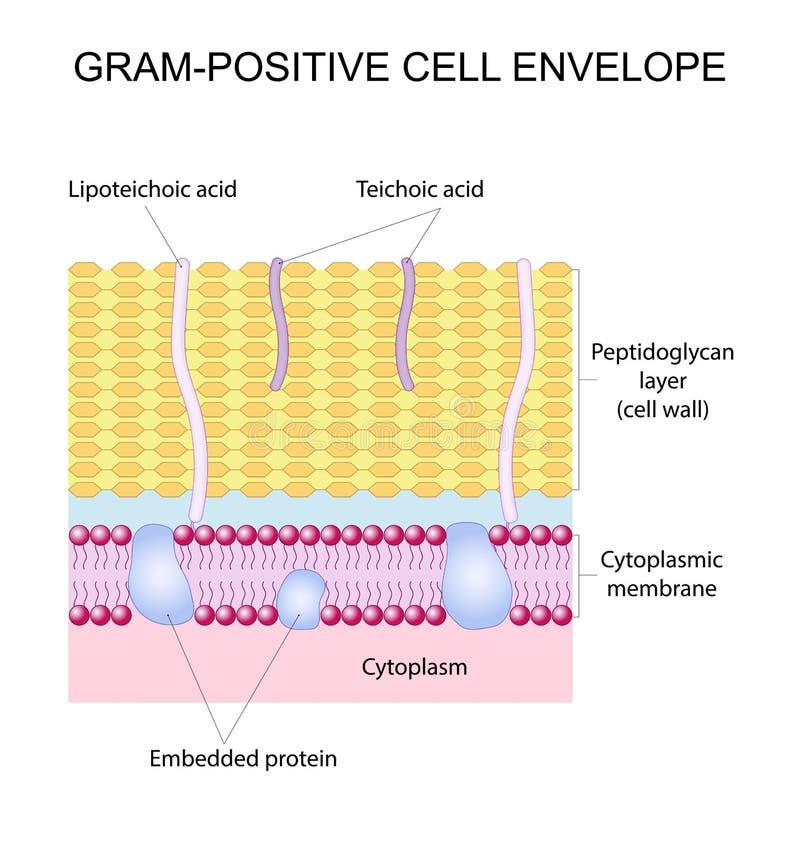 Busta gram-positiva delle cellule illustrazione vettoriale