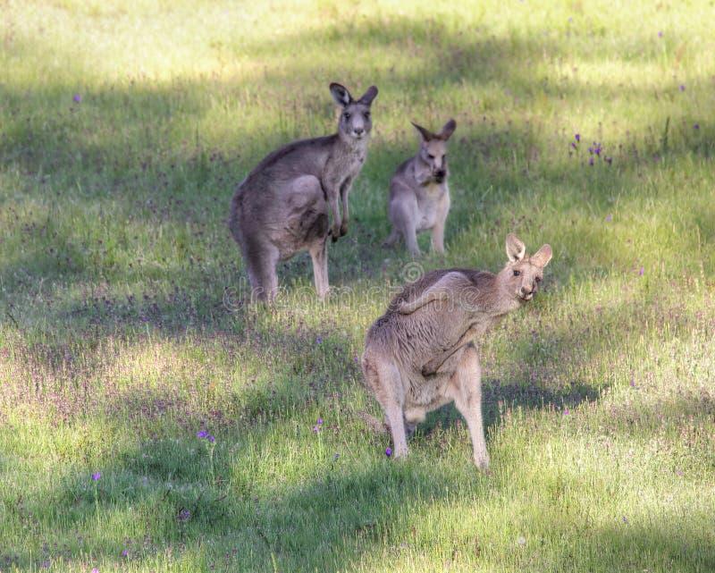 Busto do canguru um movimento fotos de stock