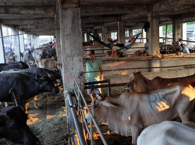 Busy Asian cattle trade market in Padre Garcia Livestock Market in Batangas, Philippines, Asia. Padre Garcia, Batangas, Philippines - May 03, 2019 : Cattles for royalty free stock photography