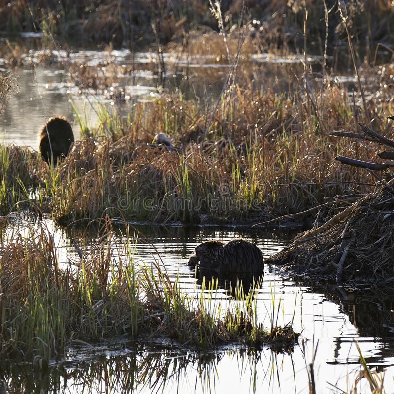 Busy beavers. Two beavers chewing on branches in marshy pond, near their lodge.  Wisconsin ecosystem stock photo