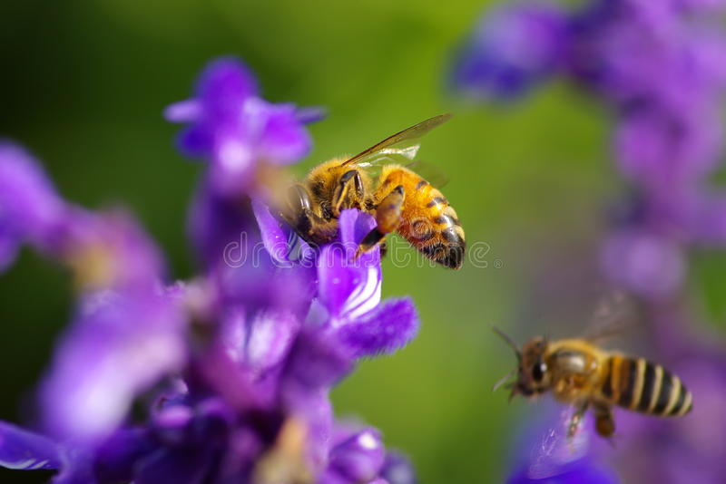 Download Busy Bee Stock Images - Image: 12265164