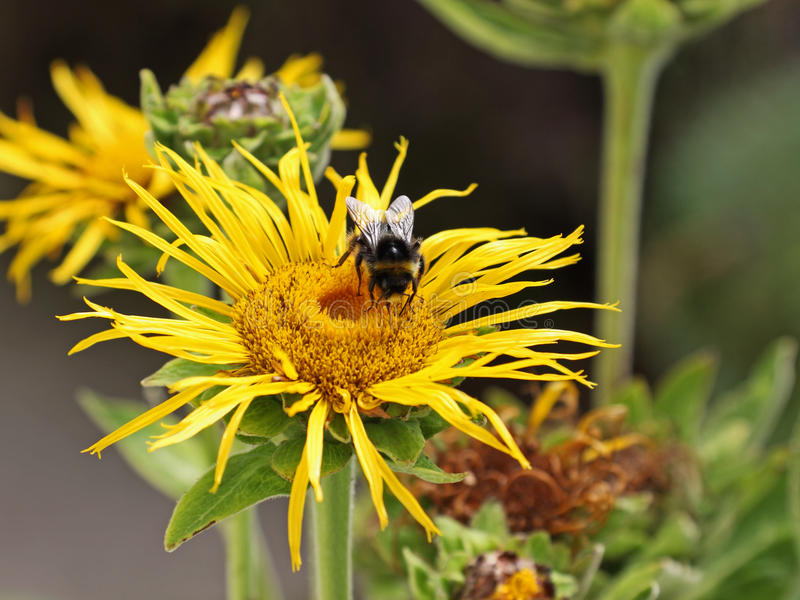 Busy Bee. Bee (apis mellifera) collecting nectar from an Inula Magnifica flower stock photos