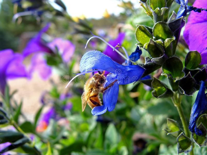 Busy Bee Collecting Nectar from Colorful Summer Blooms royalty free stock photo