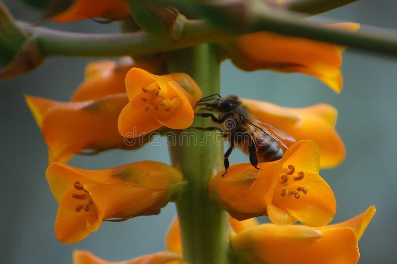 Busy Bee. Feeding on flowers of a Dyckia Bromeliad (Dyckia fosteriana x frigida stock image