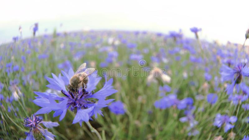 A busy bee is pollinating a blue knapweed meadow flower in the summer field without people Close up view slow mo video royalty free stock photo