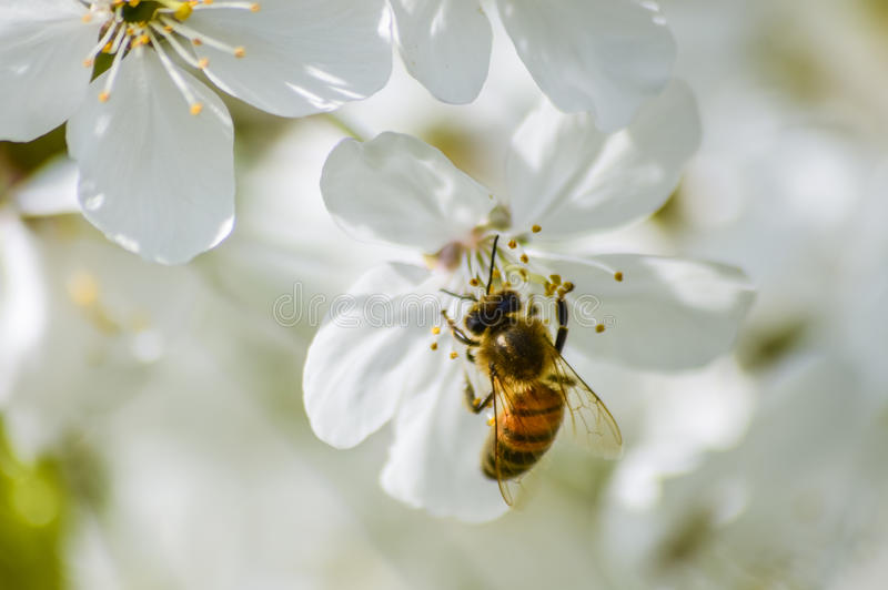 Busy bee pollinating cherry blossoms in spring. Closeup royalty free stock photography