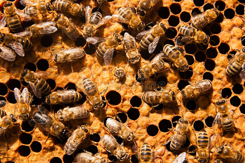 Busy bees, close up view of the working bees on honeycomb. Bees close up showing some animals and honeycomb structure royalty free stock image