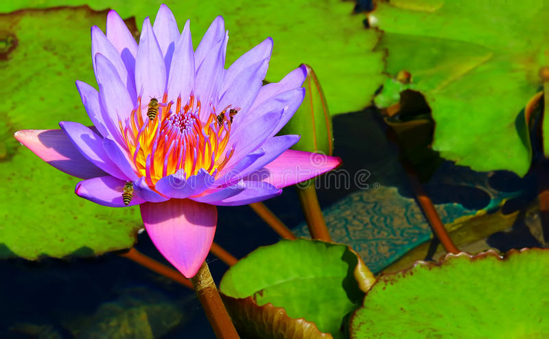 Busy bees on purple water lily stock images