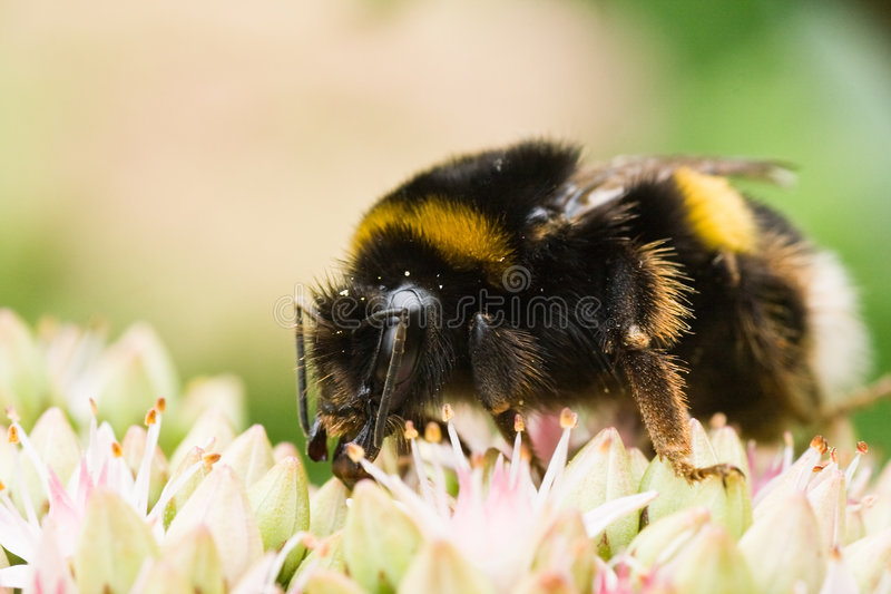 Busy being a bumble bee. Big busy bumble bee getting nectar from Sedum royalty free stock images