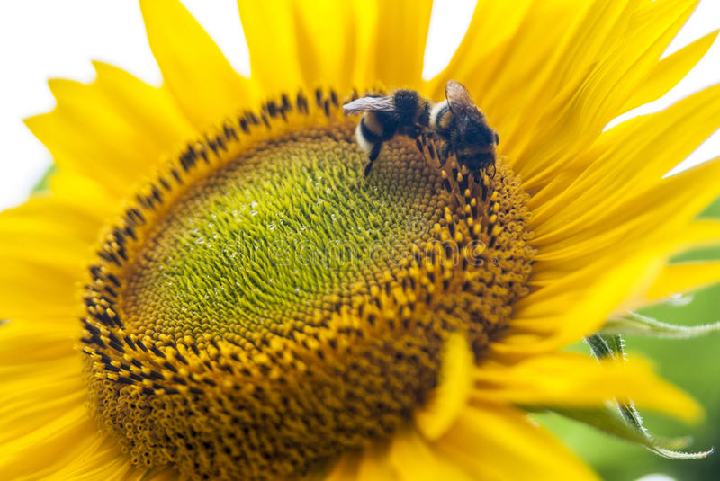 Busy bumblebees. Bumblebees queueing on a sunflower with tiny reflecting waterdrops stock photo