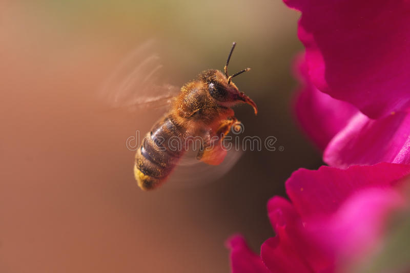 Busy honey bee. Flying with whirring wings in front of red petals stock photo