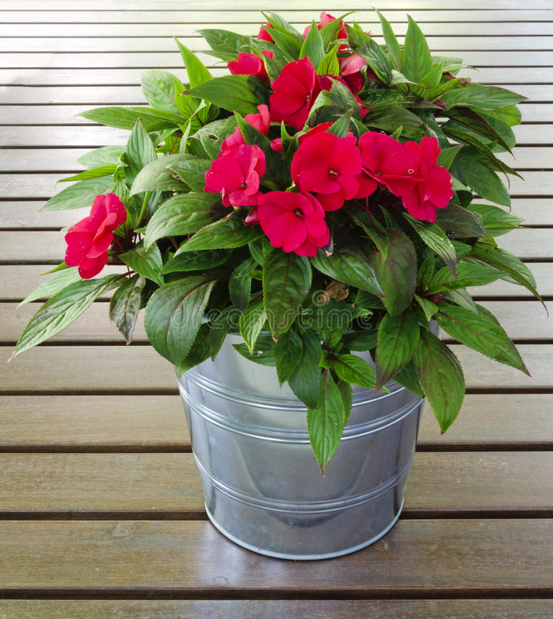 Free Busy Lizzie In A Flower Pot Stock Photo - 35147370