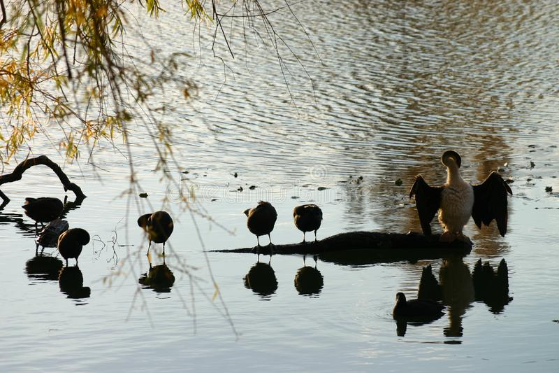 Busy Water Fowl Free Stock Photo
