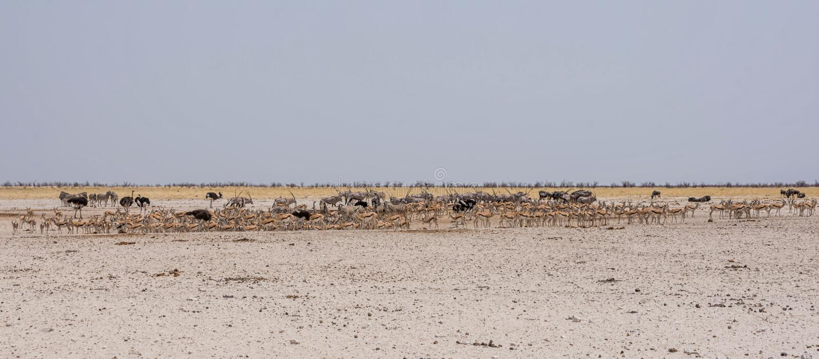 Busy Water Hole. Animals congregate to drink at a waterig hole in the Namibian savanna stock images
