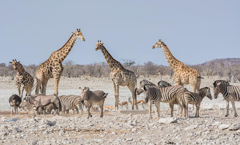 Busy Watering Hole. African wildlife at a busy watering hole in the Namibian savanna stock image