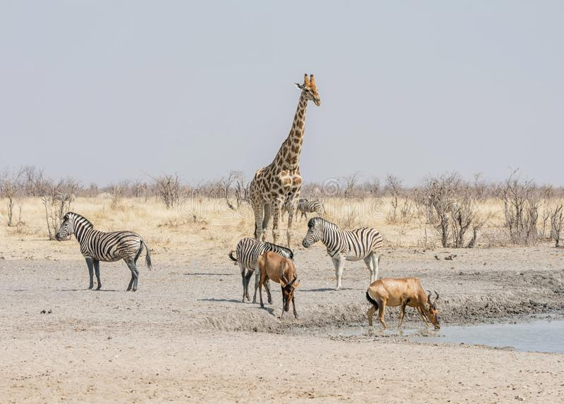 Busy watering hole. Animals congregate to drink at a waterig hole in the Namibian savanna stock photos