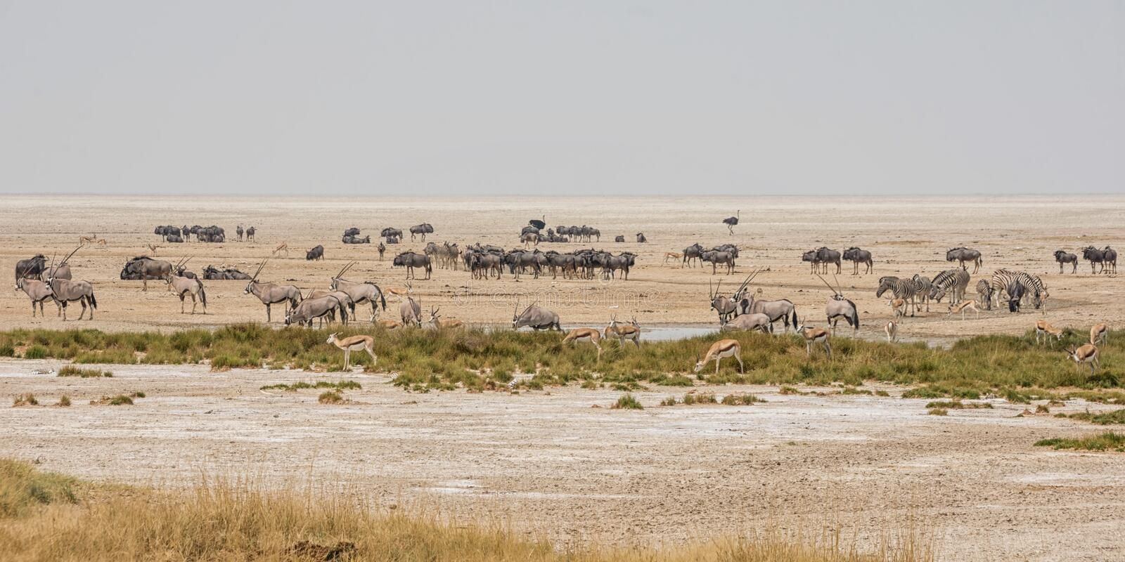 Busy Watering Hole. Animals congregate to drink at a waterig hole in the Namibian savanna royalty free stock photography