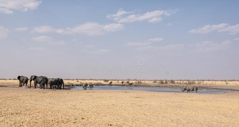 Busy Watering Hole. A busy watering hole in the Namibian desert savanna royalty free stock photos