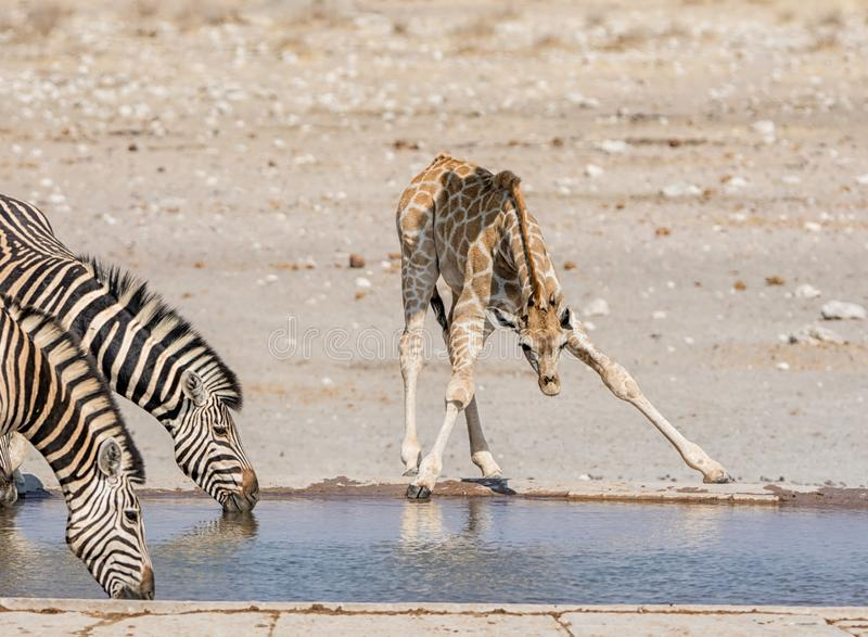Busy Watering Hole. A Giraffe calf  and Zebra drinking at a watering hole in Namibian savanna stock photography