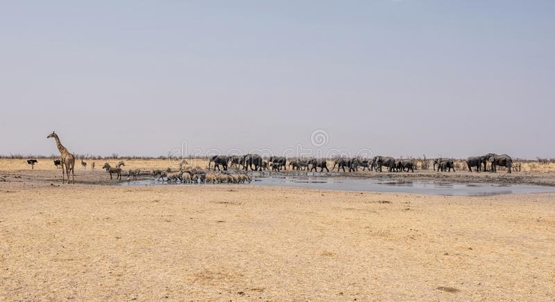 Busy Watering Hole. A busy watering hole in the Namibian desert savanna stock photo