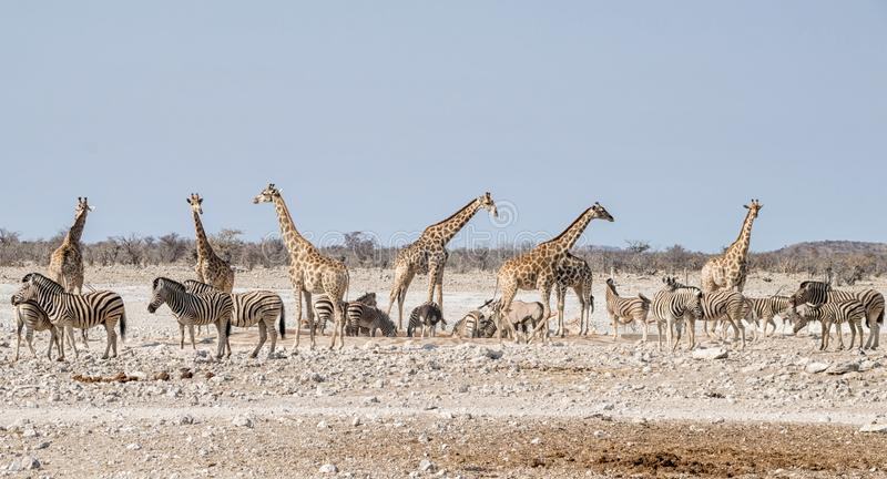 Busy Watering Hole. A busy watering hole in the Namibian savanna royalty free stock images