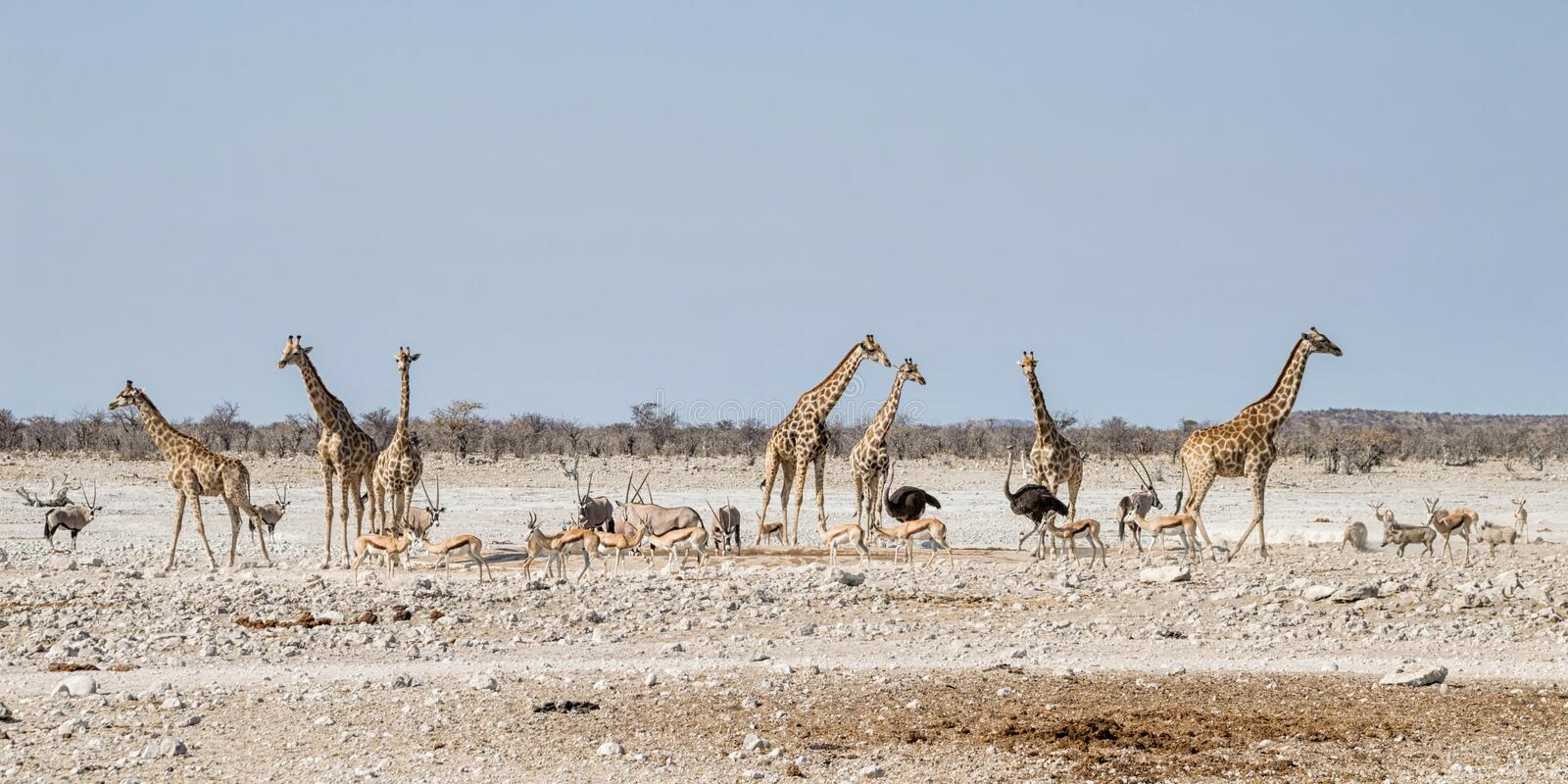 Busy Watering Hole. A busy watering hole in the Namibian savanna stock photography