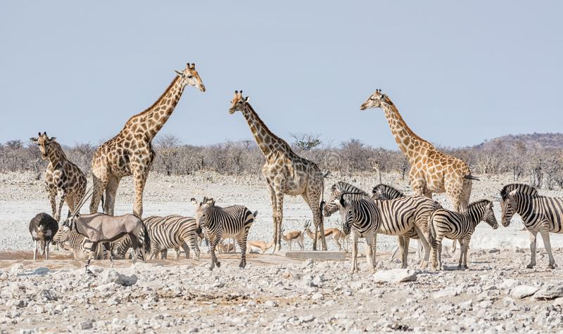 Busy Watering Hole. A busy watering hole in the Namibian savanna stock image