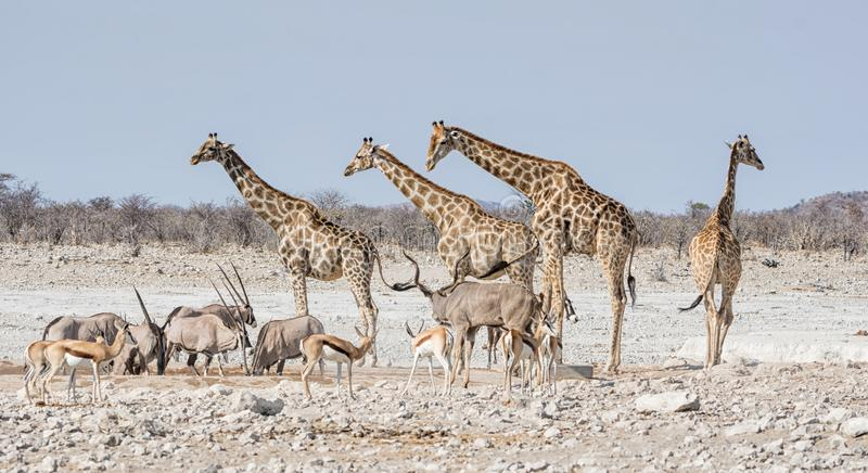 Busy Watering Hole. A busy watering hole in the Namibian savanna stock photo