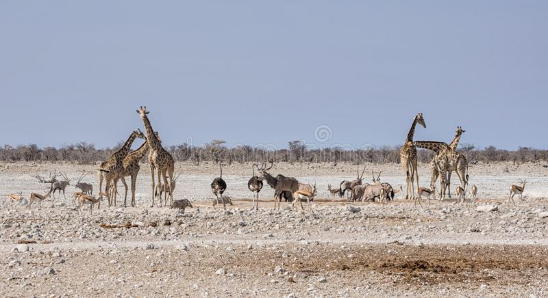 Busy Watering Hole. A busy watering hole in the Namibian savanna royalty free stock photo