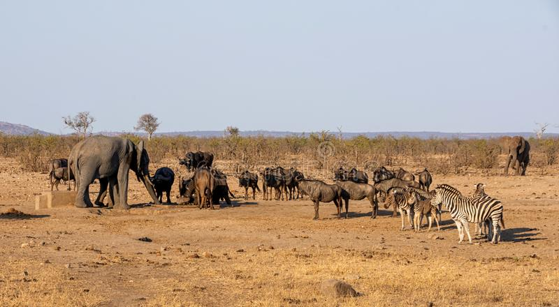 Busy Watering Hole. A busy watering hole in Southern African savanna stock image