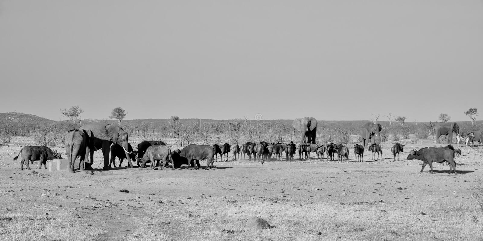 Busy Watering Hole. A busy watering hole in Southern African savanna stock images