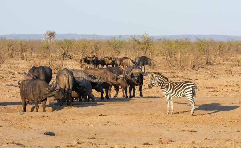 Busy Watering Hole. A busy watering hole in Southern African savanna royalty free stock photos