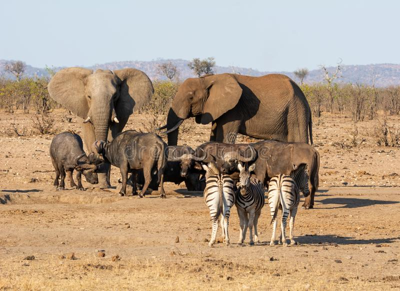 Busy Watering Hole. A busy watering hole in Southern African savanna royalty free stock images