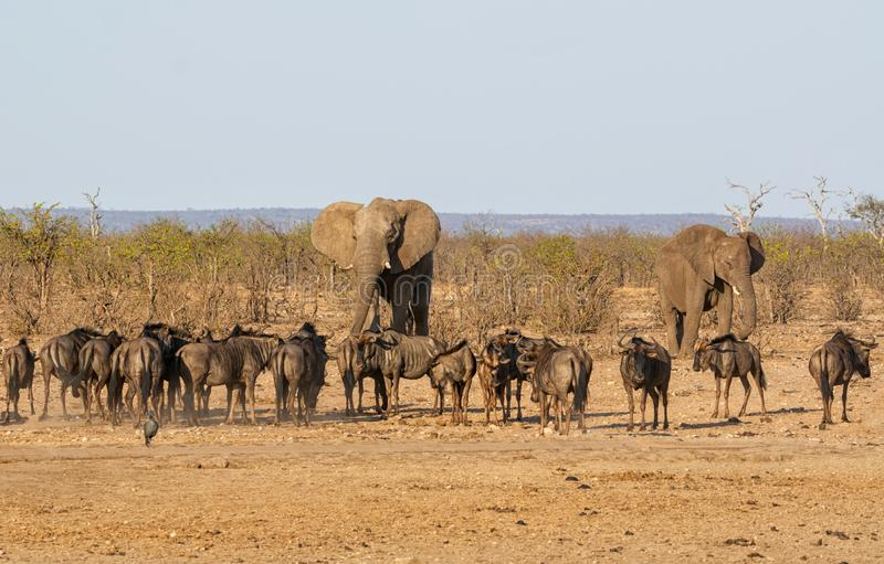 Busy Watering Hole. A busy watering hole in Southern African savanna stock photos