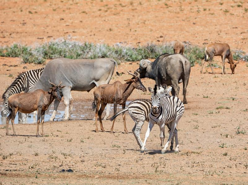 Busy Watering Hole. A busy watering hole in Southern African savanna stock photography