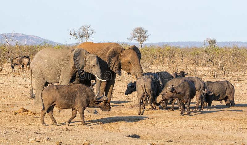 Busy Watering Hole. A busy watering hole in Southern African savanna royalty free stock image