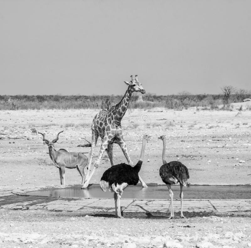 Busy Watering Hole. Wildlife at a watering hole in Namibian savanna royalty free stock image