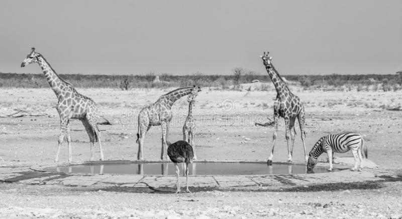 Busy Watering Hole. Wildlife at a watering hole in Namibian savanna stock images