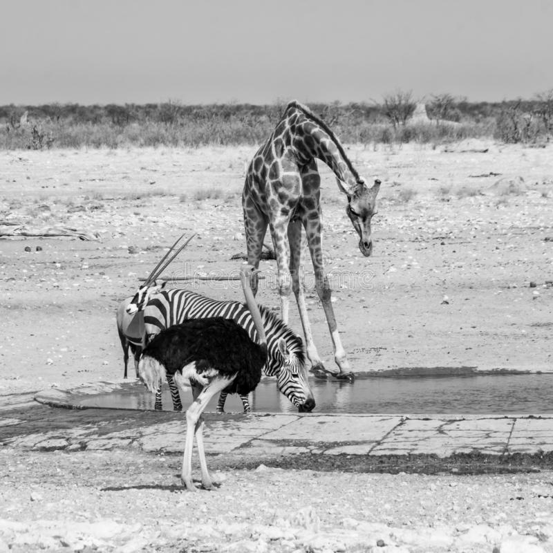 Busy Watering Hole. Wildlife at a watering hole in Namibian savanna royalty free stock photos