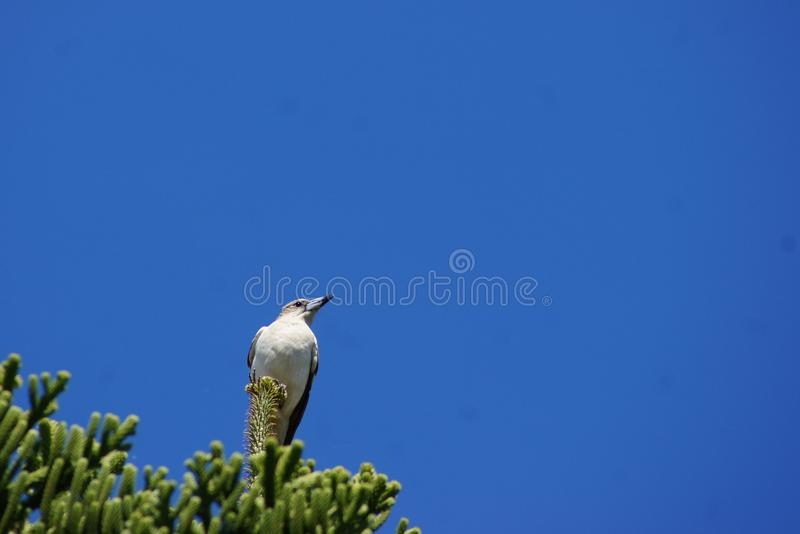 Butcher Bird on top of Tree. The Butcher Bird is a beautiful bird. It has a magnificent call. The thing I don`t like about the Butcher Bird is the awful sight of stock images