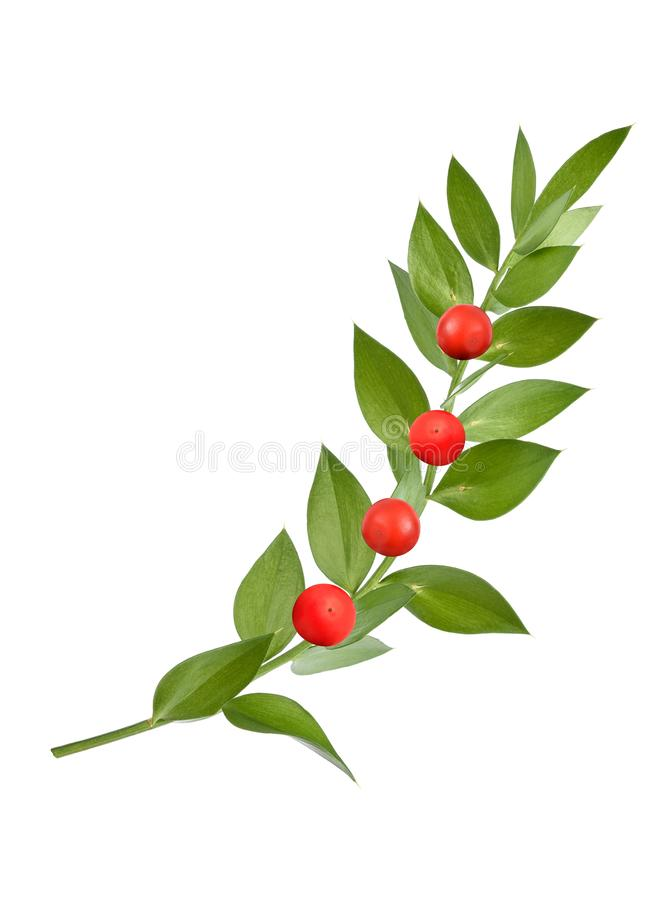 Butcher`s-broom. With berries isolated on white background royalty free stock photo