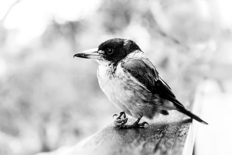Butcherbird w czerni i bieli obrazy stock